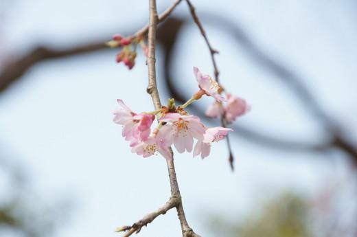 0322しだれ桜2.JPG
