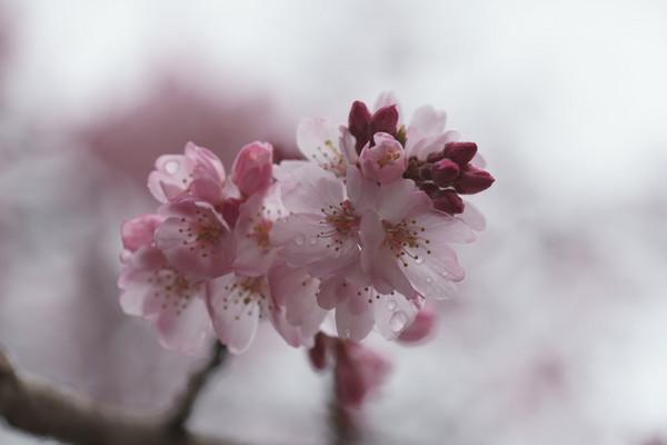 0401しだれ桜1.JPG