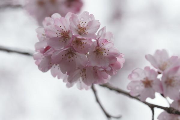 0401しだれ桜2.JPG