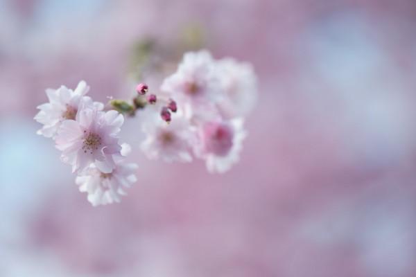 0425桜1.JPG