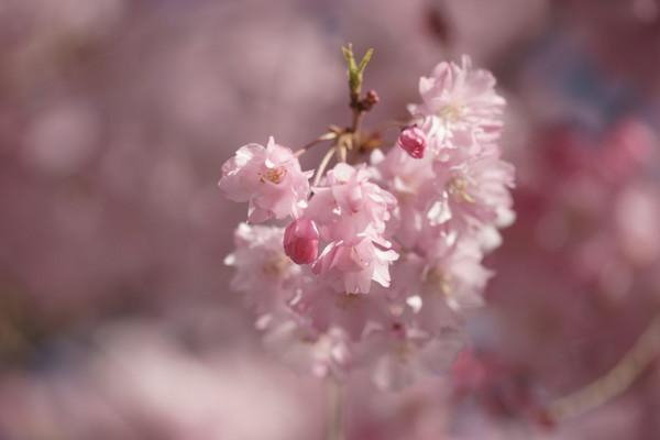 0425桜2.JPG
