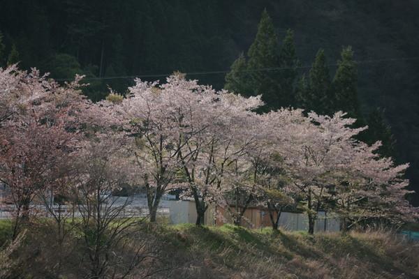 0425桜3.JPG