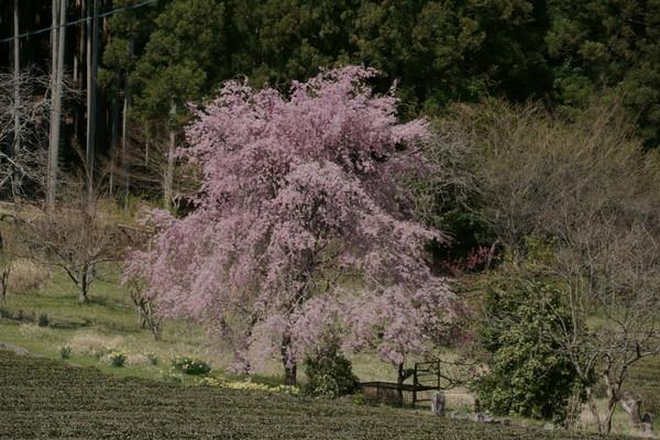 0425桜5.JPG