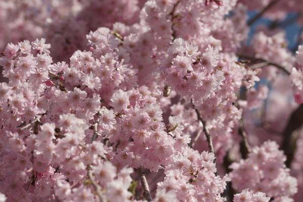 0425桜6.JPG