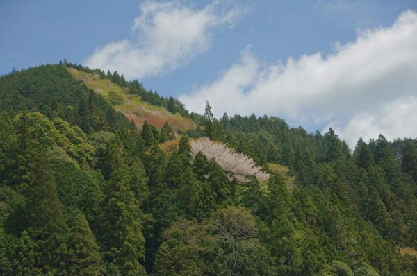 0429山桜.JPG