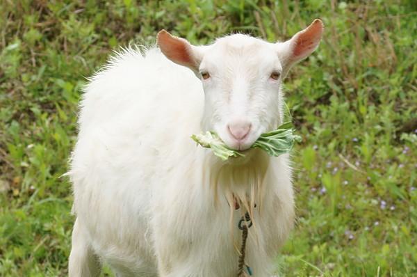 0510山羊.JPG