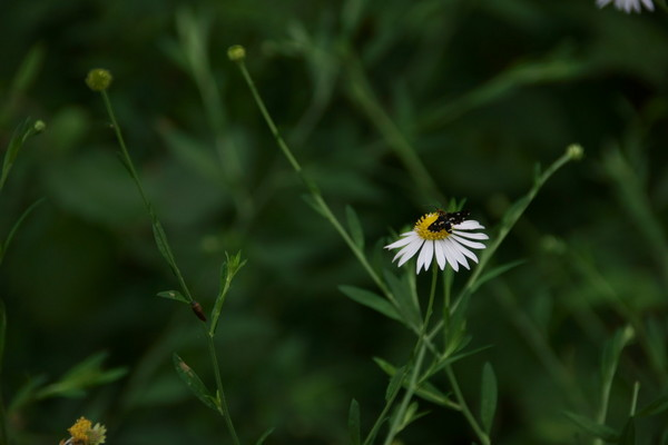 0806山路野菊.JPG