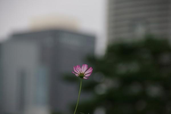 1001コスモス.JPG