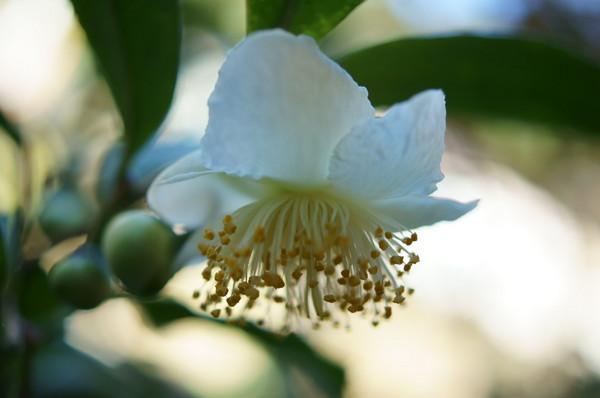 1031お茶の花.JPG