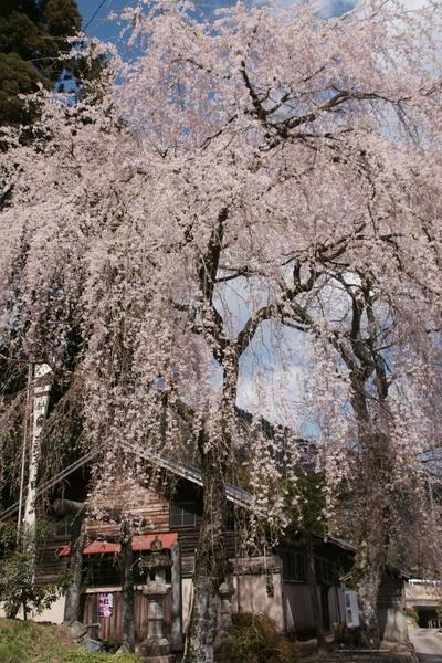 0414枝垂れ桜1.jpg