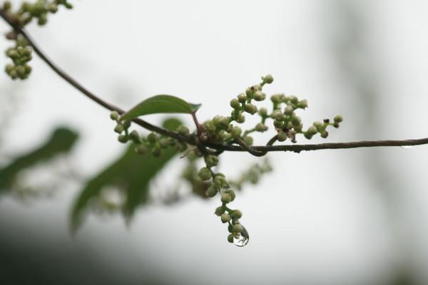 0815山芋の花.JPG